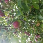Deer Run Farms Apple Orchard & Retail Store