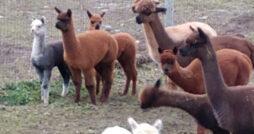 Tartan Acres Alpaca Farm
